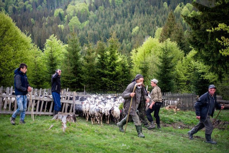 Так, як діди робили: як живеться на полонині закарпатським вівчарям