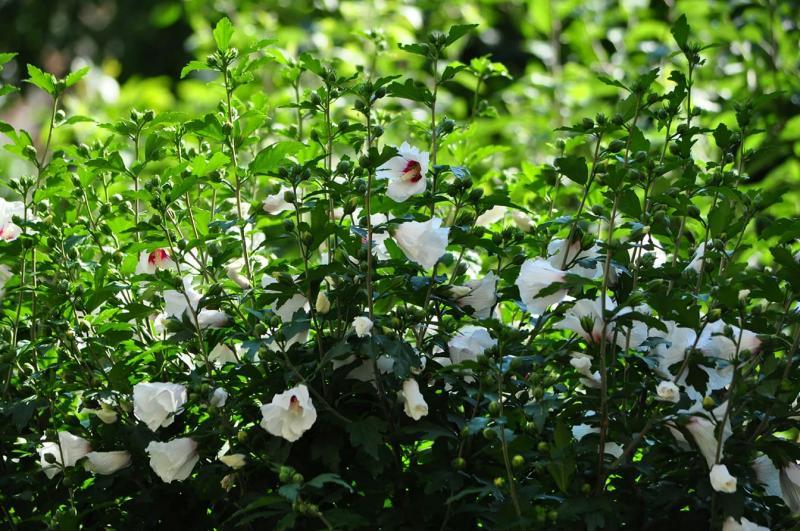 У місті над Ужем пишно квітне садовий, або сирійський гібіскус!