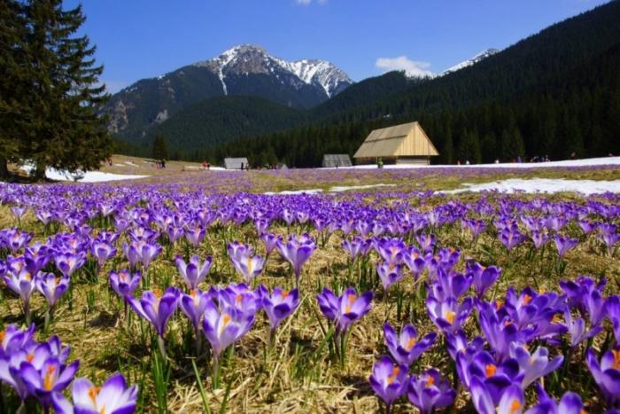 Картинки по запросу Картинки цвітіння Крокусів в Колочаві