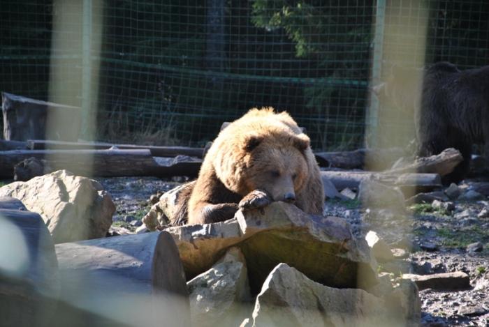 """Синевирські ведмеді """"очікують"""" на перші морози, щоб залягти у сплячку"""