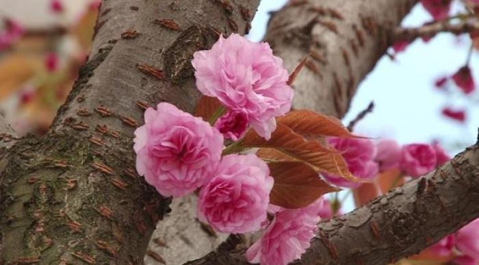 """Цвітіння японської вишні на Закарпатті лише на """"низькому старті""""!"""