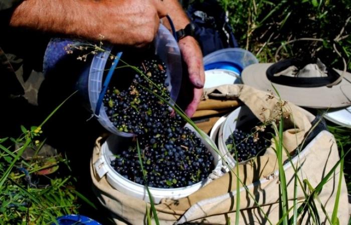 На високий врожай яфин тячівцям цьогоріч сподіватися не варто