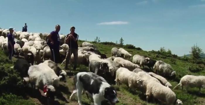 Вівчарі на полонині: як живуть, скільки заробляють та як розводять овець
