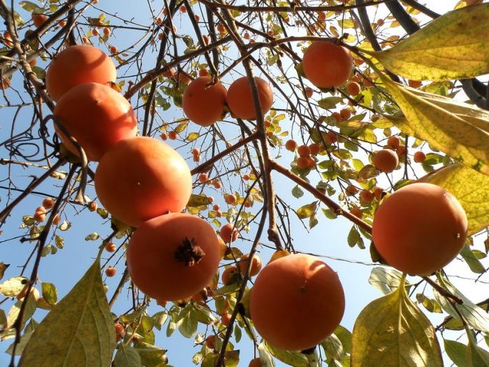 У Виноградові почали збирати урожай хурми