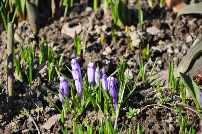 В Ужгороді зустрілися останні морози й перші квіти