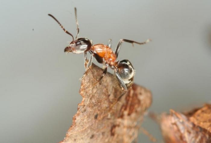 На Закарпатті цих мініатюрних комах не знаходили більше 50 років!