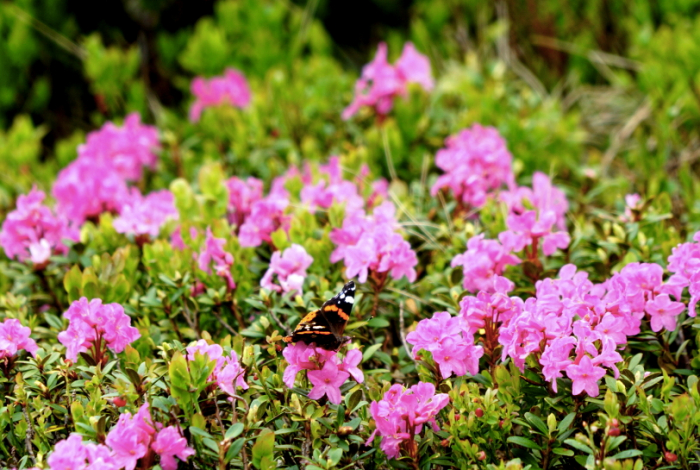 """Рідкісна """"Червона рута"""" цвіте в горах Закарпаття лише три тижні"""