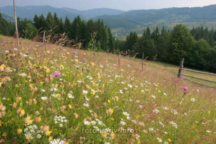 В Карпатах цвітуть цілющі квіти з народної аптеки